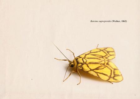 Barsine_euprepioides