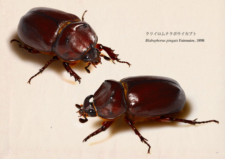 Blabephorus_pinguis