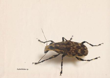 Anthribidae
