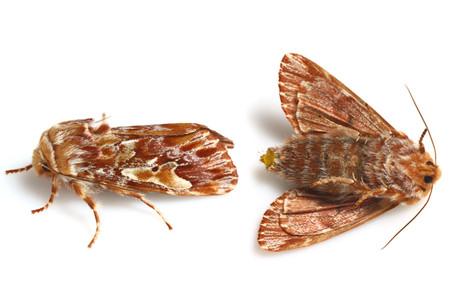 Panolis_japonica