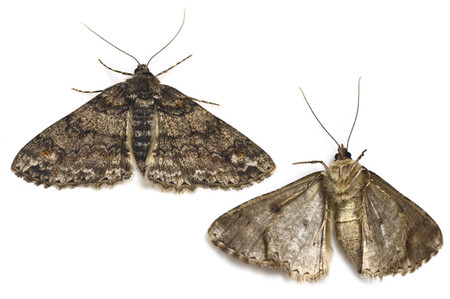 Cleoraleucophaea2
