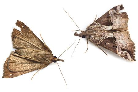 Hypenaindicatalis