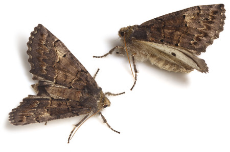 Pachyligiadolosa