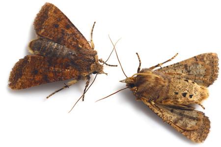 Rhynchaglaeafuscipennis