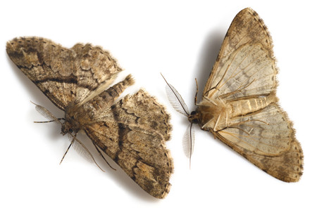 Cleoraleucophaea