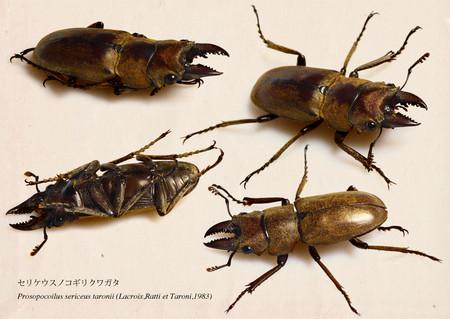 Prosopocoilussericeustaronii