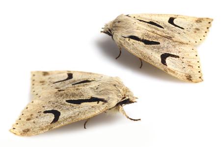 Orthosianigromaculata