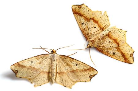 Pareclipsisgracilis