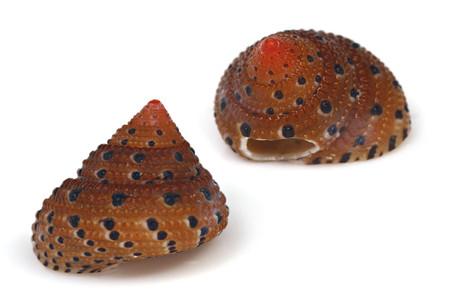 Clanculusmargaritarius