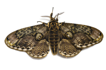 Brahmaeajaponica