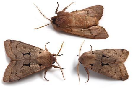 Orthosiacarnipennis