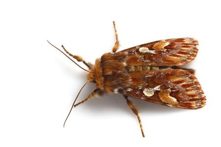 Panolisjaponica