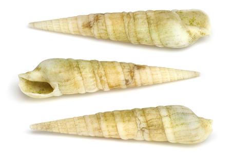 Terebridaesp