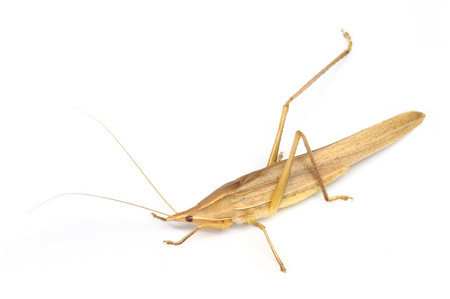 Euconocephalusthunbergii
