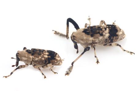 Gasterocercuslongipes