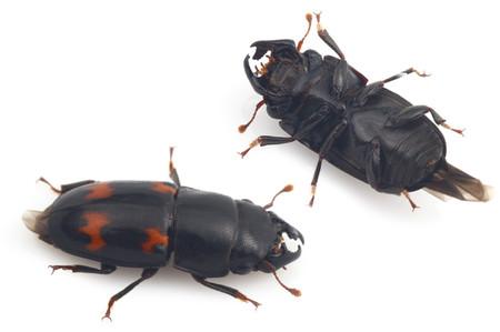 Librodorjaponicus