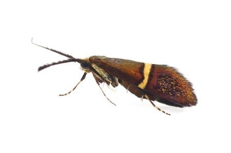Nemophoraaurifera