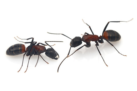 Camponotus_obscuripes