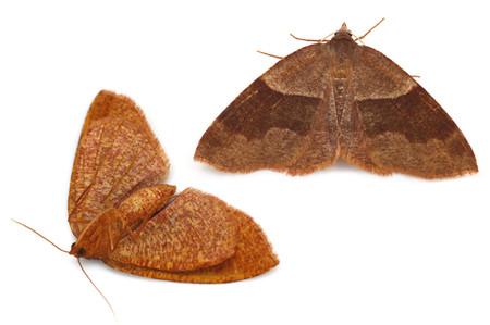 Plagodis_pulveraria_japonica