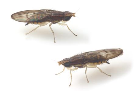 Luzonomyza