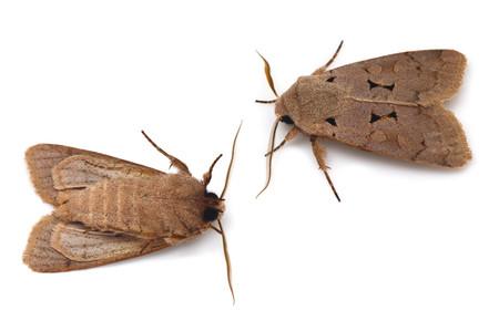 Orthosia_carnipennis