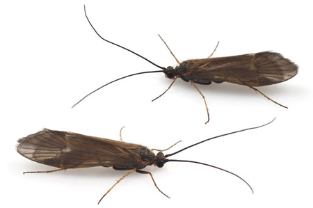 Trichoptera