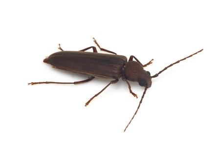 Arhopalus_coreanus