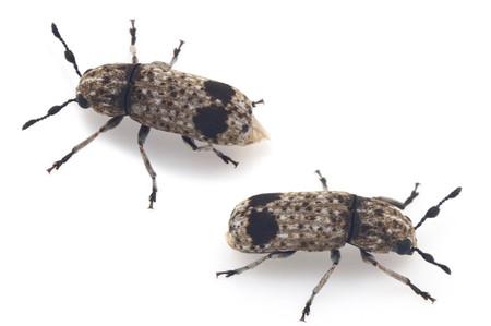 Ozotomerus_nigromaculatus