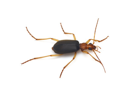 Brachinus_scotomedes