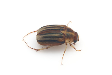 Gastroserica_brevicornis