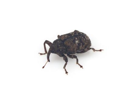 Curculionidae2