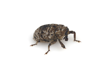 Curculionidae3