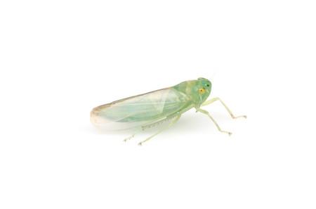 Cicadellidae1