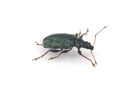 Phyllobius_armatus