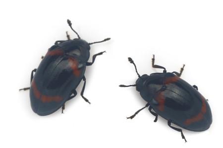 Aulacochilus_japonicus