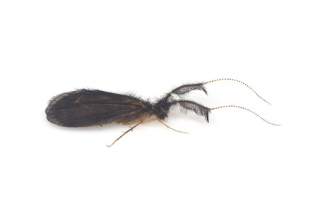 Lepidostomatidae