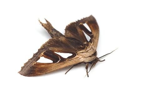 Tarsolepis_japonica