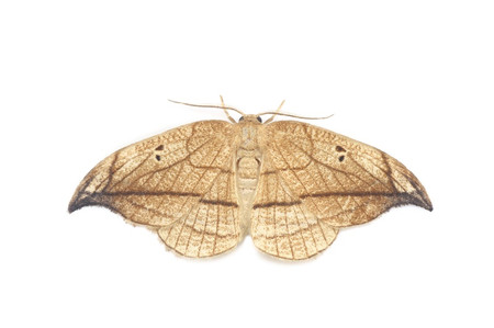 Microblepsis_acuminata