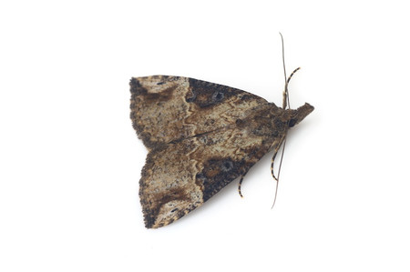 Hypena_narratalis