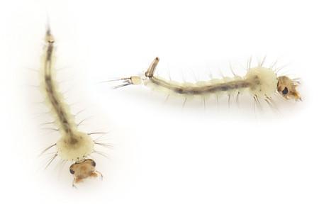 Culex_pipiens_larve