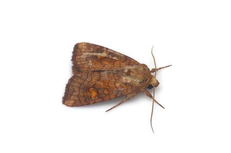 Amphipoea_ussuriensis