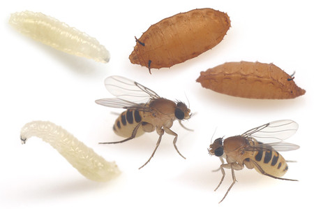 Megaselia_spiracularis