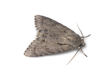 Acronicta_major