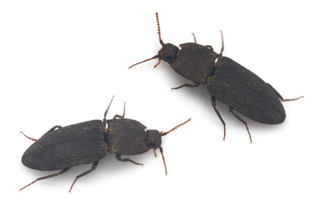 Pyrophorinae