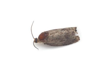 Olethreutinae1