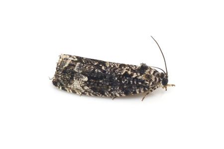 Olethreutinae2