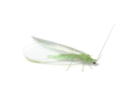 Myrmeleontidae