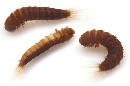 Attagenus_unicolor_larve