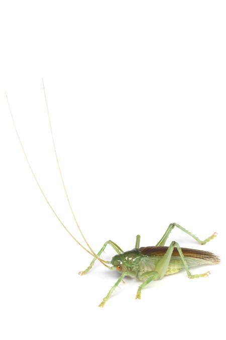 Prosopogryllacris_japonica