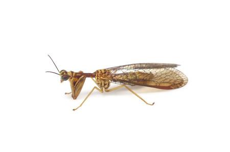 Mantispa_japonica